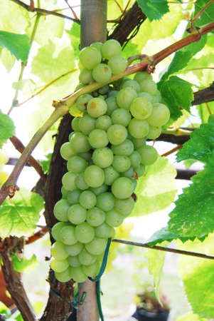 Bunch of white grapes photo