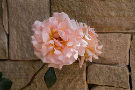 Peach Rose Against Stone Wall Stock Photo