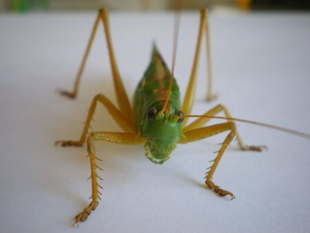 centimetres: Green locust. Super macro filming. An insect of 6 centimetres at length.