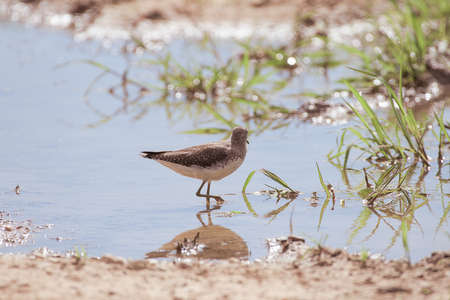 large sandpiper bird in a river with green vegetation and sun reflections