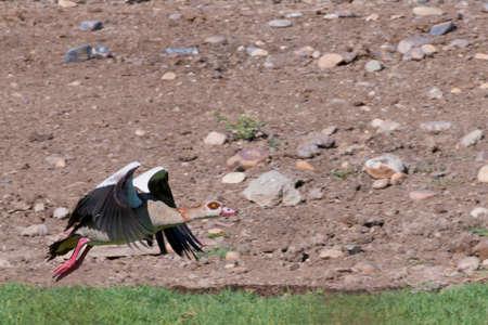 Nile goose bird soaring over green meadow