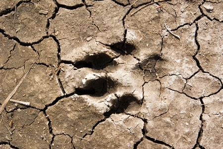 a dog footprint in dried mud, going west