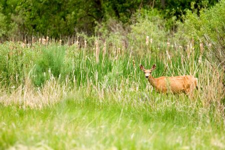 A deer in the wild standing in grass