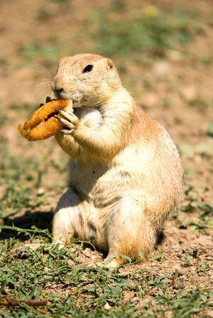 Fat prairie dog eating junk food Stock Photo