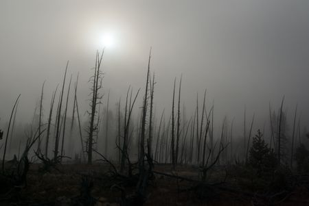 A fog hanging over the burnt trees of Yellowstone