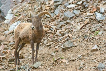 Big horn sheep in Colorado standing outside Stock Photo