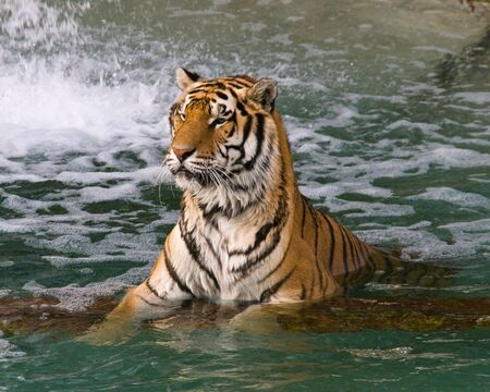 Two tigers swimming in a lake in a zoo 스톡 콘텐츠