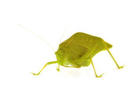 A katydid, green leaf bug isolated on white