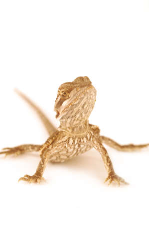 A baby bearded dragon on a isolated on a white background Stok Fotoğraf
