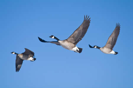 Three geese flying against a blue sky