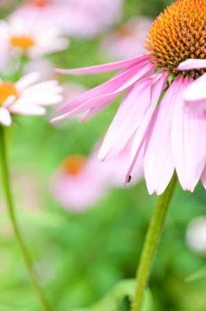 L'échinacée fleur Banque d'images