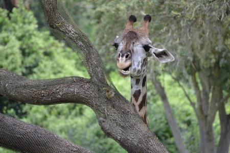 hide and seek: Giraffe Hide and Seek