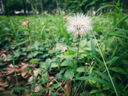 Small hairy dandelion flower, with white fluffy petals and stuff on top similar to dried flowers on an exuberant green lawn Imagens