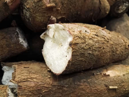 Cross-section of a tuber root of Manihot esculenta, commonly named cassava, manioc, yuca or mandioca. Delicious raw food for many Latin American traditional side dishes. Reklamní fotografie