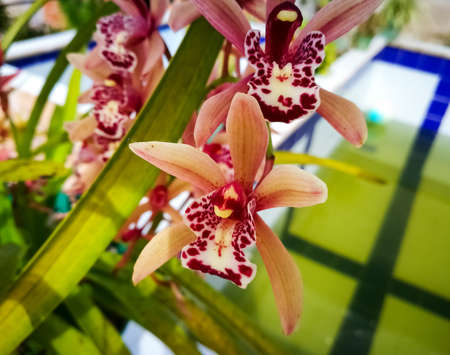 Lovely pink orange Cymbidium orchid with purple reddish spots and green background