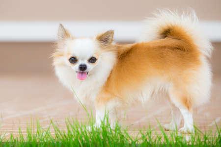 cane chihuahua: Cute dog chihuahua in casa Archivio Fotografico