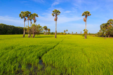 sugar palm: Beautiful sugar palm tree with rice field at thailand Stock Photo