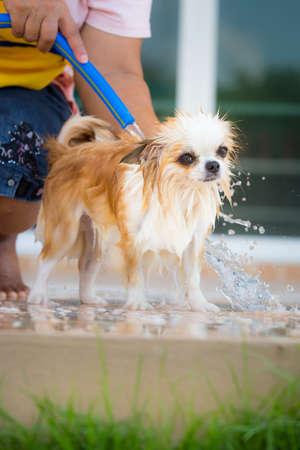 cane chihuahua: Simpatico cane chihuahua fare un bagno a casa