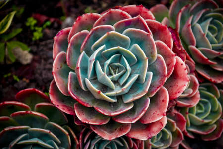 fleshy: A close-up of a plant with rosettes of fleshy leaves  Stock Photo