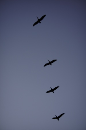 Flight of pelicans in late day blue sky or the button line on a Chinese shirt