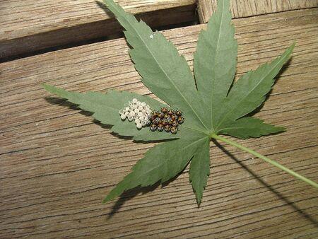 Baby ladybugs su una foglia  Archivio Fotografico - 320060