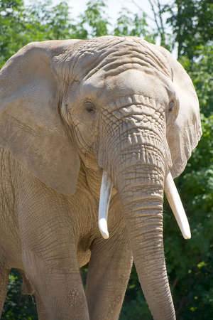 poach: Full frame closeup shot of an African elephant walking towards the camera. Nice tusks and good detail of skin.