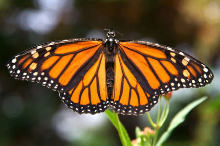 remarkable: Full 3:2 frame closeup of monarch butterfly with wings spread. Remarkable coloring. Stock Photo