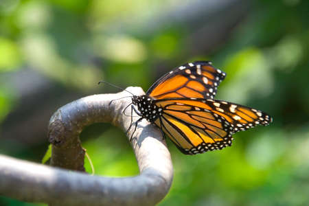 nicely: Closeup of a monarch butterfly perched on a branch. Butterfly is in focus, with nicely blurred background foliage. Stock Photo