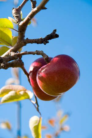 Two apples hanging from an apple tree, shot against a pure blue sky.