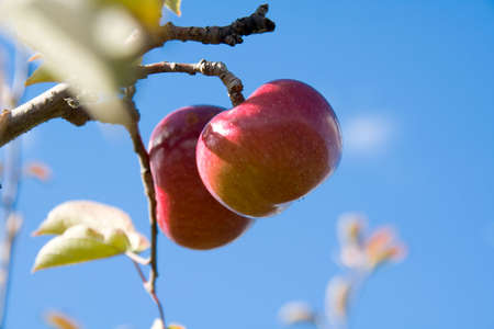 grocer: Two apples, the front one in focus, hanging from an apple tree, against a pure blue sky.