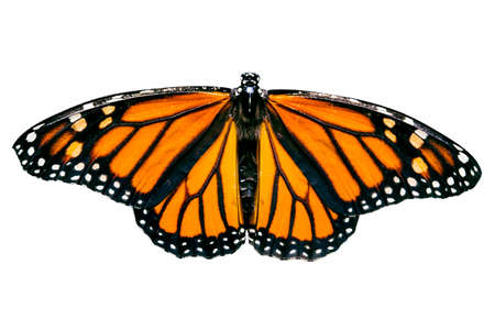 full shot: Beautiful full shot of a monarch butterfly isolated against a white background.
