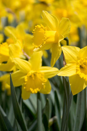daffodil Stok Fotoğraf