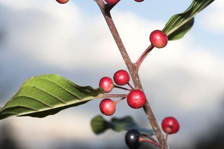 winterberry: Berries