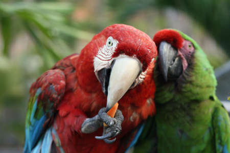 ave: Macaws Stock Photo