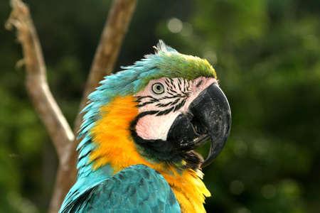 garra: Macaw