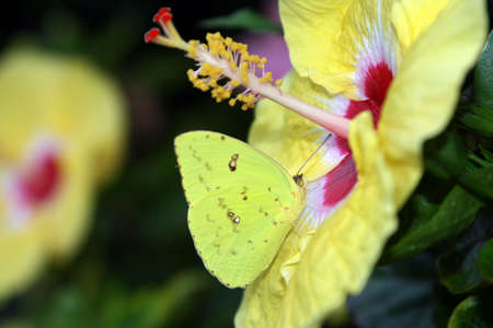 yello: Yello Butterfly and Flower Stock Photo