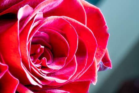 macro red rose. close up Standard-Bild