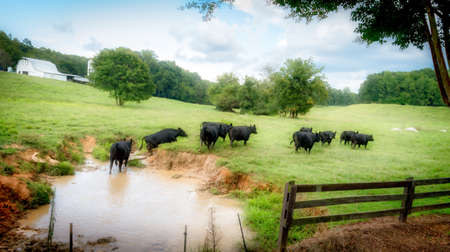 cows in pasture as they are leaving the watering hole