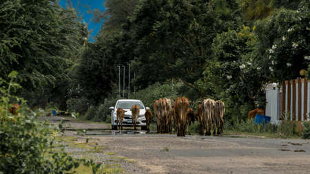 Herd of cows walking down the road and approaching a car in Pak Nam Pran, Thailand Reklamní fotografie