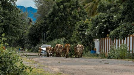 Herd of cows walking down the road and approaching a car in Pak Nam Pran, Thailand