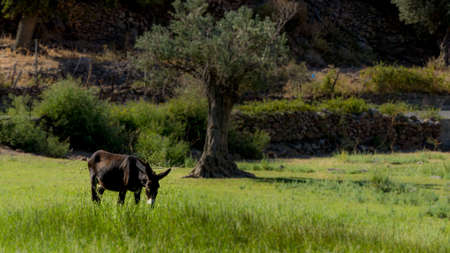 Donkey standing in field looking at camera  with olive tree in the background on the island of Lesvos in Greece 版權商用圖片