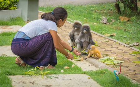 Woman in Sarong , kneeling down, looking at and feeding adult and baby Dusky Monkeys in Lommuak Thailand Foto de archivo