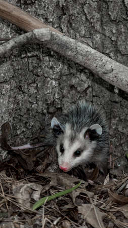 Baby opossum with pink nose standing in leaves in front of tree in North Carolina USA Stock Photo