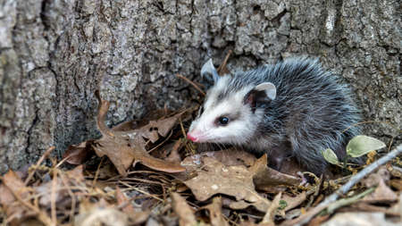 Baby opossum with pink nose standing in leaves in front of tree in North Carolina USA