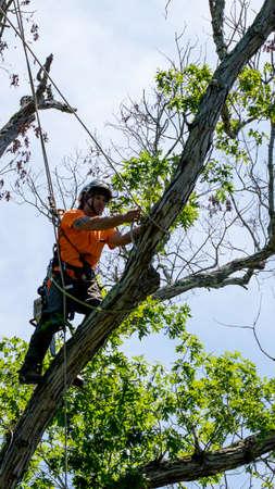Worker in orange shirt climbing in tree cutting off dead branches in North Carolina Standard-Bild