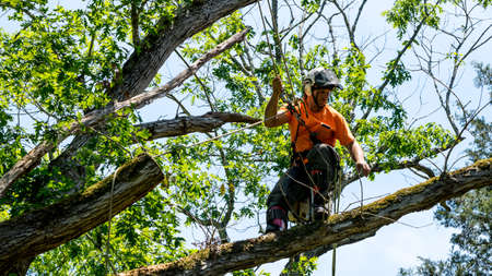 Worker in orange shirt climbing in tree cutting off dead branches in North Carolina