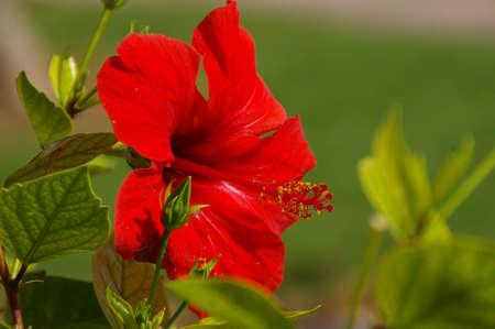 menorca: Flower of Menorca, spain