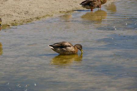 menorca: Duck of Menorca, Spain