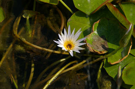 egyptian lily: Nymphaea