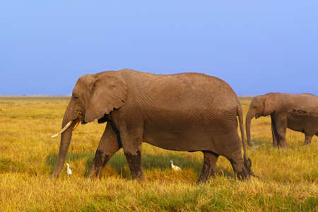 mara: A big elephant with his baby in the grass in Amboseli - Safari Kenya  Stock Photo